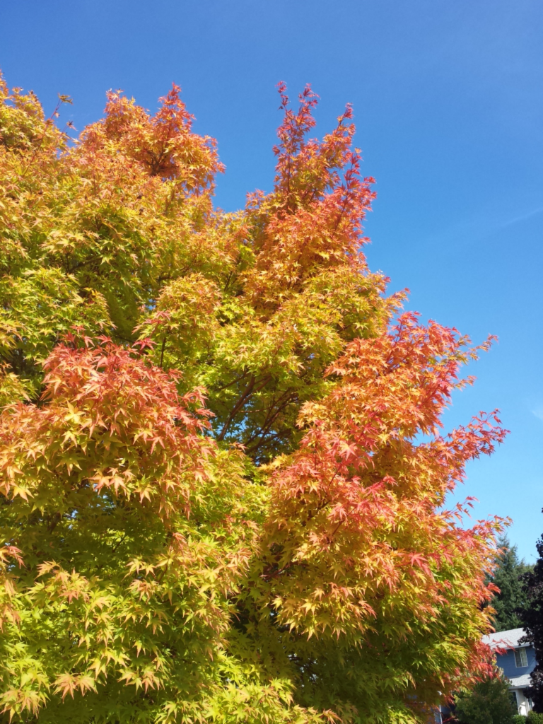 The tree in our front yard showing how Fall is here.