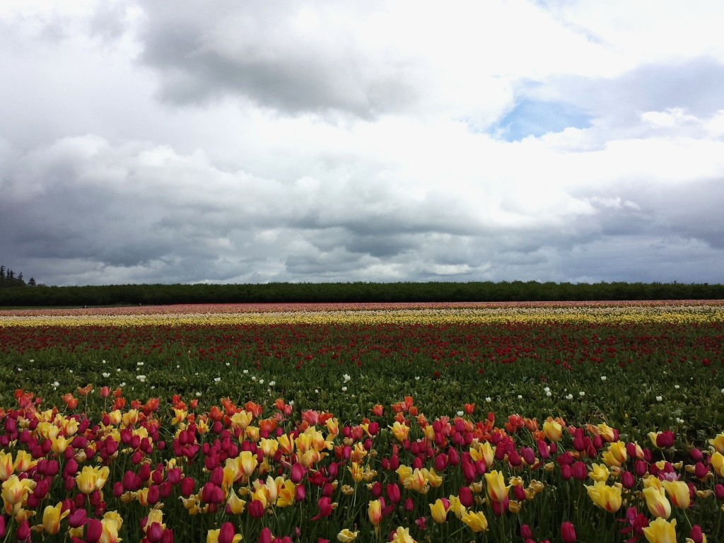 More than 40 acres of tulips at the Wooden Shoe Tulip Farm in Woodburn, Oregon.