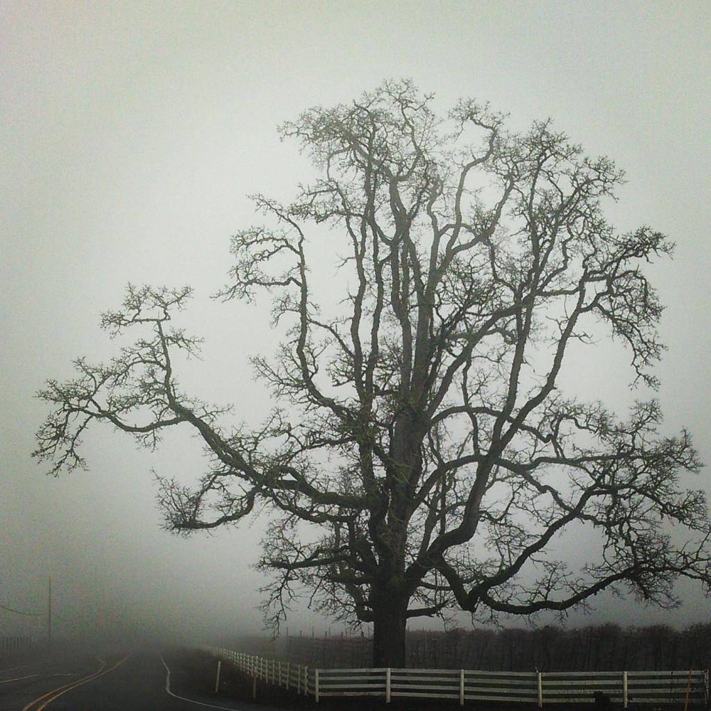 A massive tree on the outskirts of Hillsboro, Oregon.